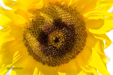 tournesol -5177 copy
