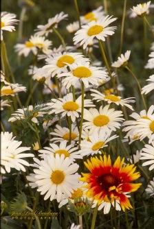 Fleurs sauvages-1-1 copy